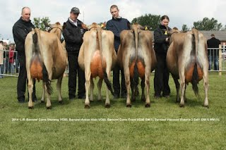 The interbreed team of 4 Barnowl Jersey cows